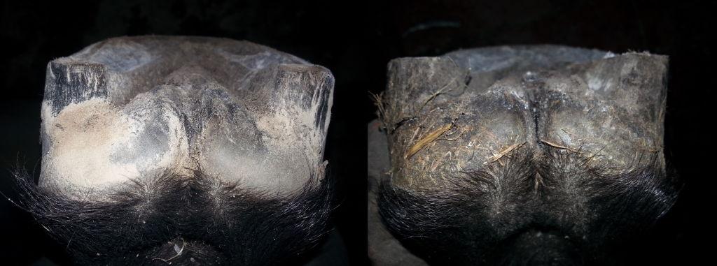 Niedorozwinięta strzałka niemająca kontaktu z podłożem sprzyja występowaniu jej infekcji. Te zdjęcia dzieli okres kilku miesięcy (starsze po prawej), w czasie których niedostateczna ilość ruchu doprowadziła do pogorszenia stanu strzałki.