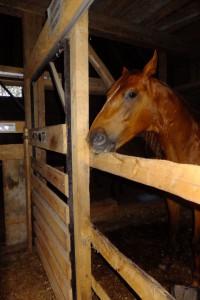 Końskie życie cz.1 – Stajnia