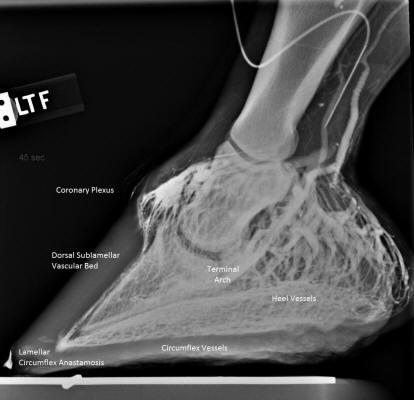 Wenogram pokazuje sieć naczyń krwionośnych w kopycie. Kiedy kość kopytowa zbyt głęboko opuści się w puszce, przepływ krwi jest zmniejszony (przede wszystkim zaopatrzenie listewek). Może to teoretycznie powodować podatność konia na ochwat i prowadzić do martwicy tkanek.